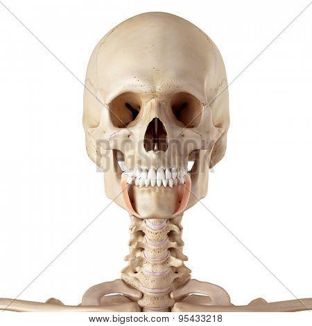 medical accurate illustration of the depressor anguli oris