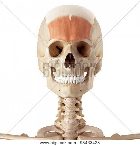 medical accurate illustration of the frontalis