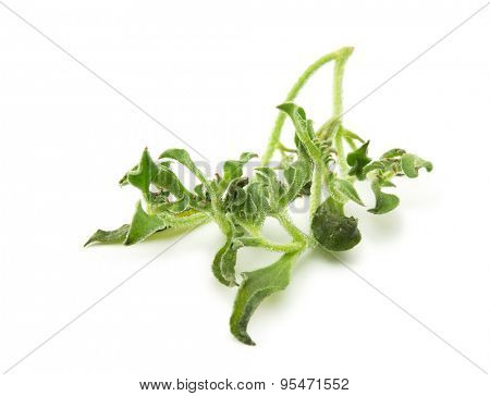 Ice plant (Mesembryanthemum crystallinum), Isolated on white. Has transparent bladder cells on the outer surface. Known for its culinary properties and is used for preventing desertification of land.