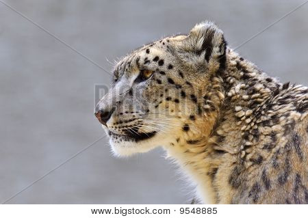 Snow leopard - (Uncia uncia)