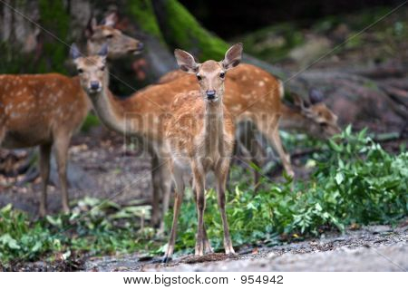 deer family in the forest. picture taken in japan poster