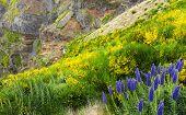 Pride of Madeira - Echium Fastuosum, Pico do Arieiro, Portugal, Europe poster