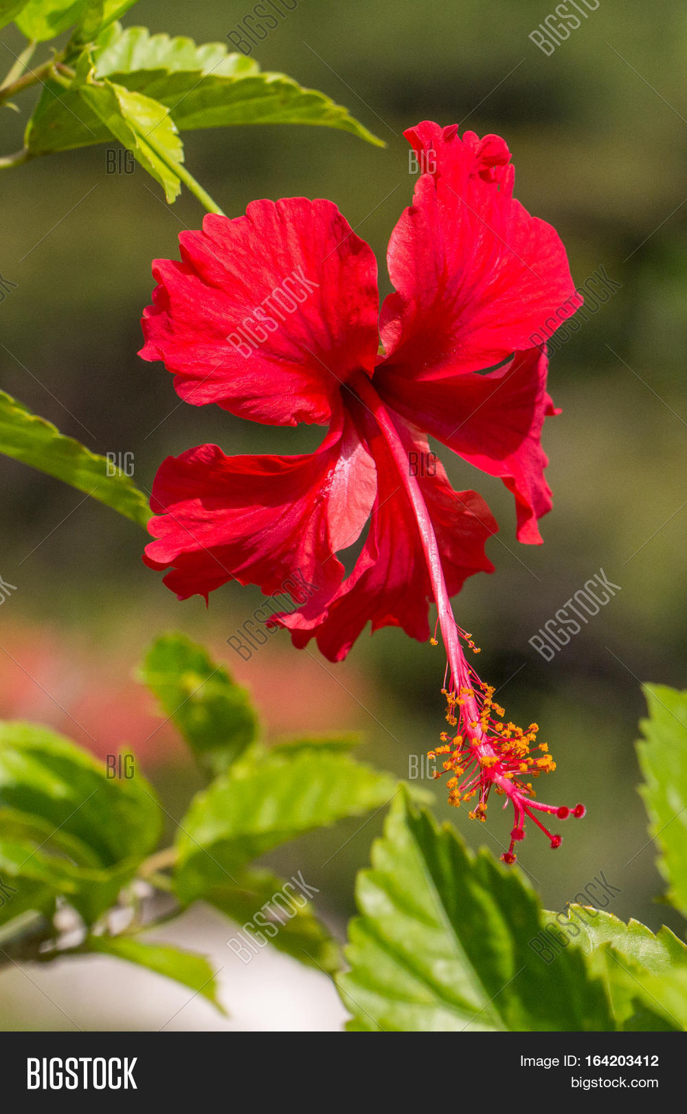 Red Hibiscus Flower Image Photo Free Trial Bigstock