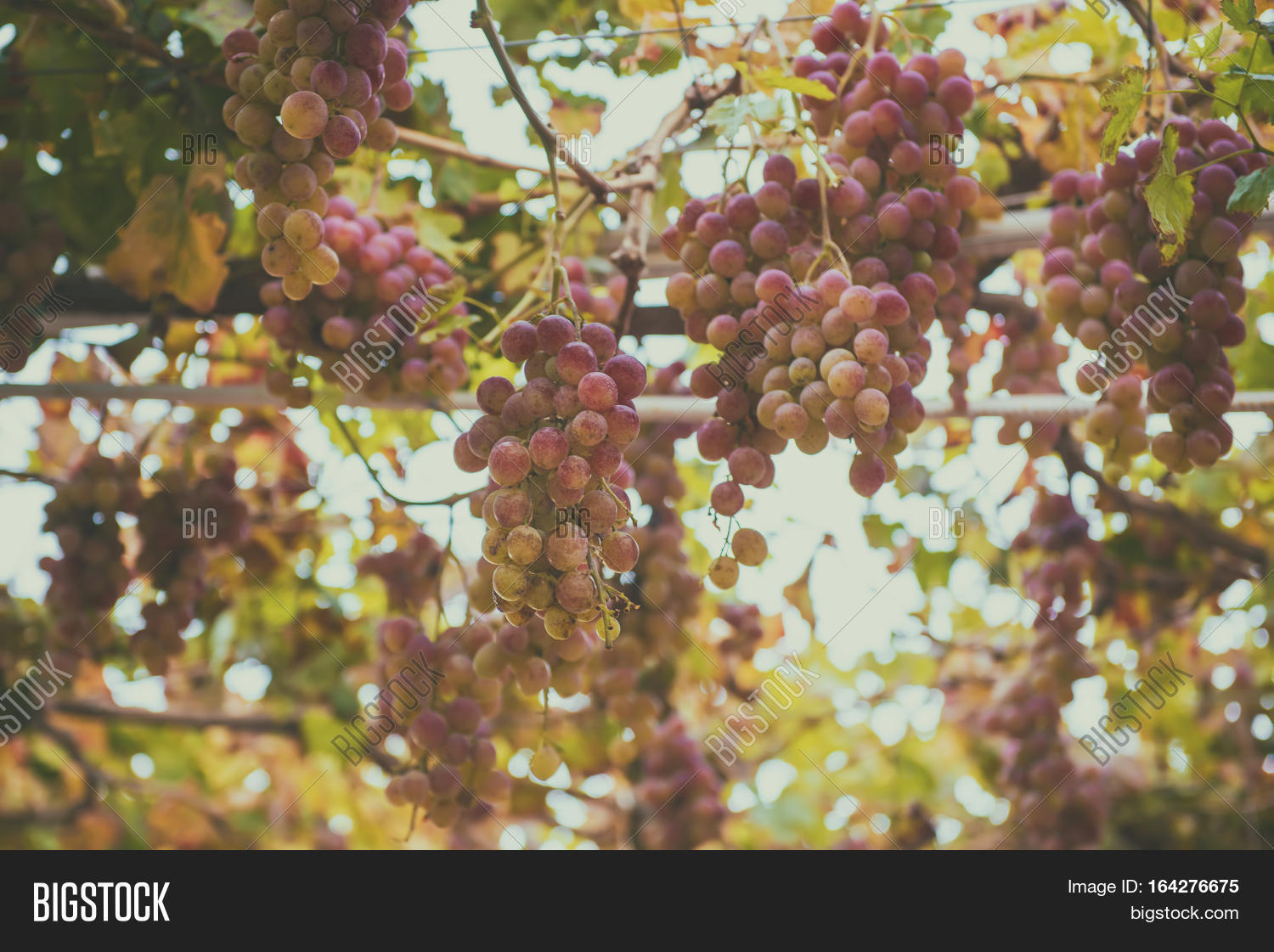 Clusters Fresh Ripe Image & Photo (Free Trial) | Bigstock