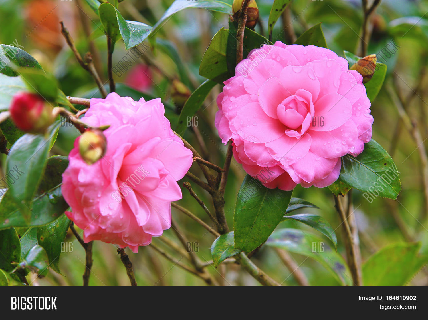 Pink Camellia Flowers Image Photo Free Trial Bigstock