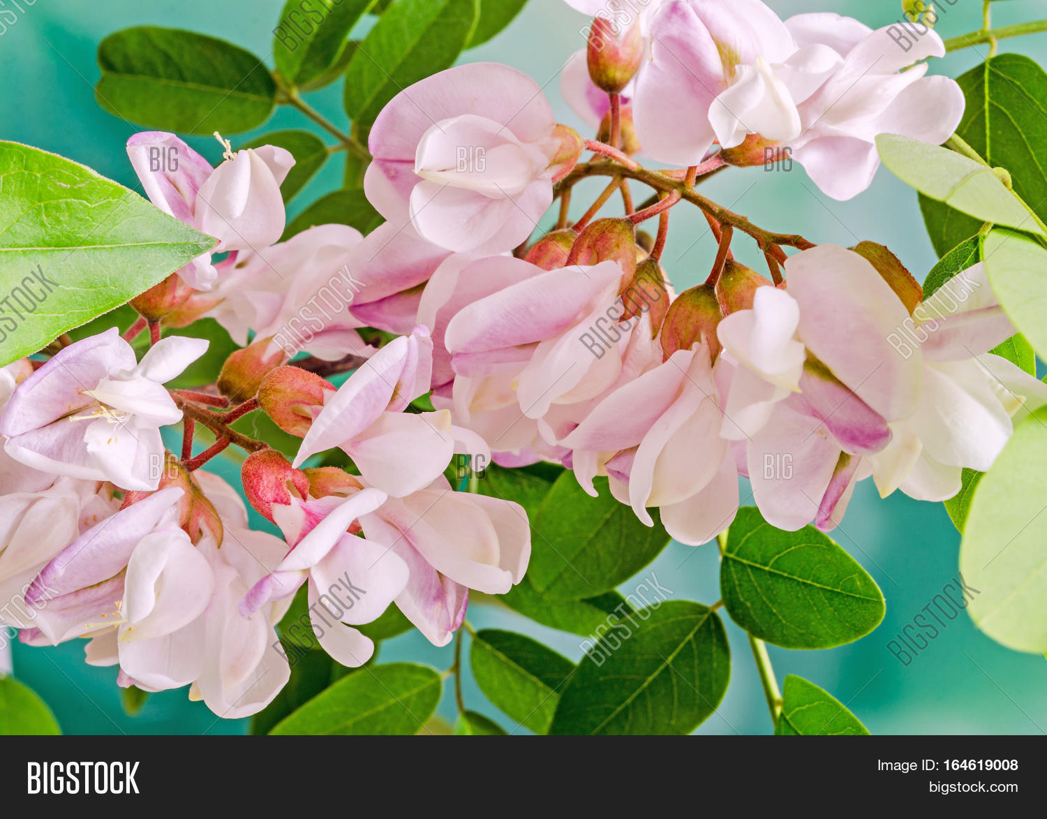 Pink robinia image photo free trial bigstock pink robinia pseudoacacia tree flowers know as black locust genus robinia family fabaceae mightylinksfo