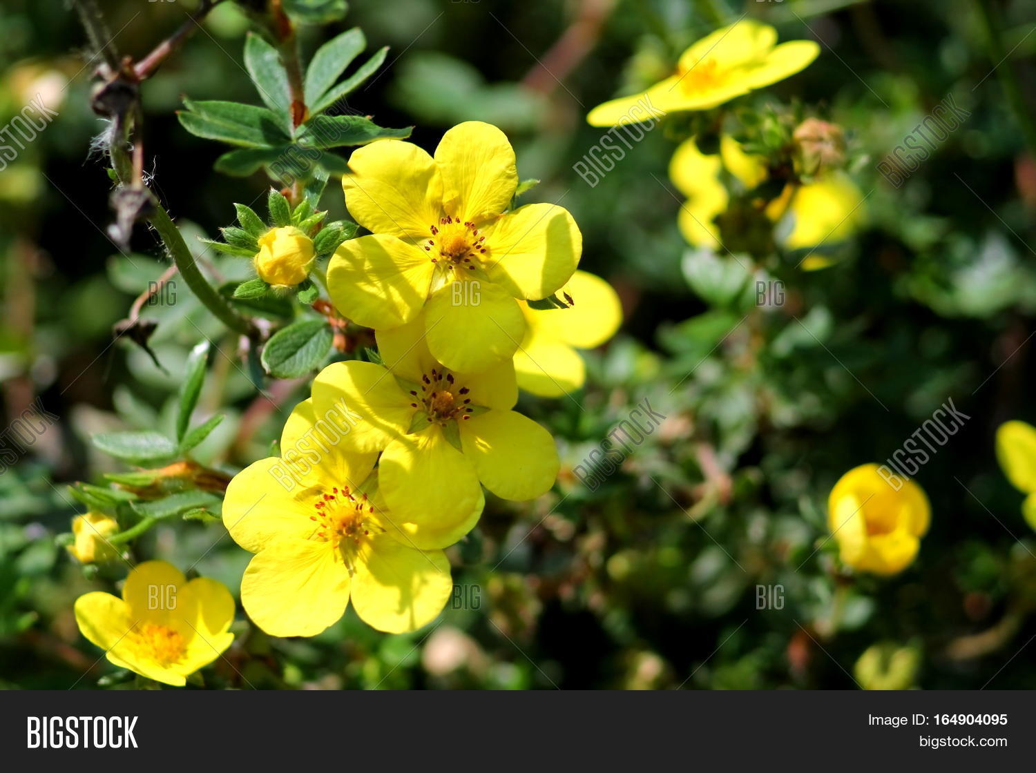 Yellow round five petals flowers image photo bigstock yellow round five petals flowers of dasiphora fruticosa blossoms of shrubby cinquefoil mightylinksfo