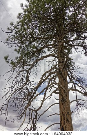 A scorched tree in the Kaibab forest.