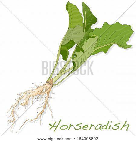 Isolated horseradish root image on the white background