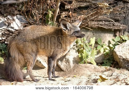 Vulpes cana in the forest in the wild