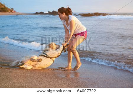 Labrador dog doesn't want to swim in ocean beach. Girl carry labrador dog in water