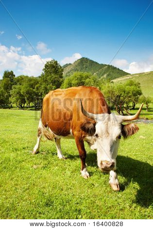 Horned cow poster