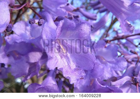 Purple Jacaranda flower blossom in bloom on tree