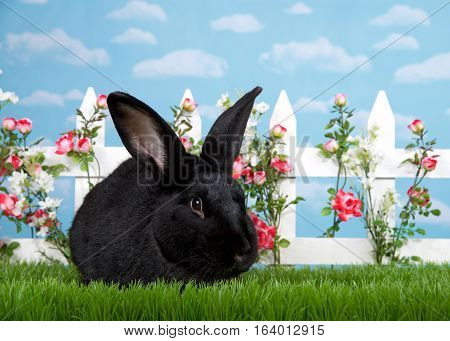 Large black bunny in green grass facing viewer white picket fence with pink roses. Blue background sky with clouds. Copy space.