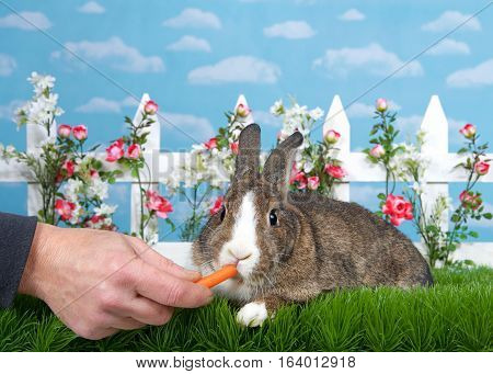 brown and white dwarf bunny laying in green grass facing viewer male hand feeding baby carrot. White picket fence with small pink roses. Blue background sky with clouds. Copy space.