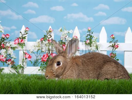 brown rabbit sitting in green grass sideways facing viewers left. White picket fence with small pink roses. Blue background sky with clouds. Copy space.
