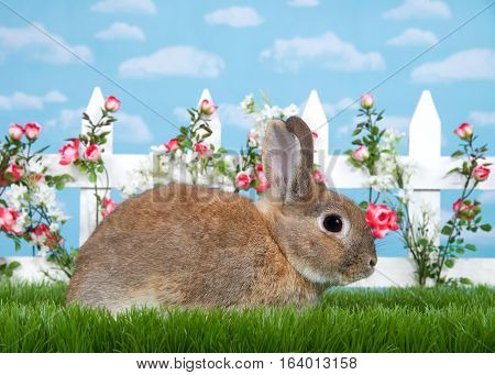 brown dwarf rabbit sitting in green grass sideways facing viewers right. White picket fence with small pink roses. Blue background sky with clouds. Copy space.
