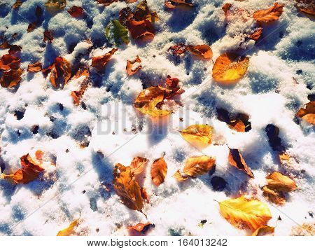 Fallen Green And Orange Dry Maple Leaf And  Beech Leaf On Snow.