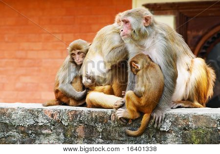 Monkey's family in hindu temple, Nepal poster