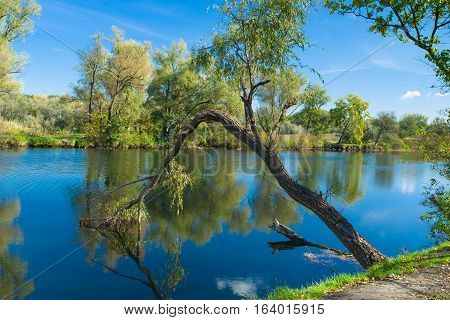 Autumnal river scenery - willow bent toward water surface.