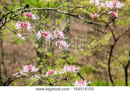 Beautiful pink azalea blooms in a spring garden