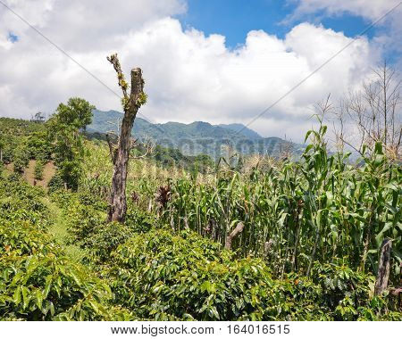 Beautiful landscape of coffee farms in San Luis de Planes by Santa Barbara National Park Honduras. Central America