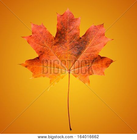 Golden orange and red maple leaf isolated on soft orange background. Beautiful autumn maple leaf isolated on orange and yellow gradient background. Fall leaf