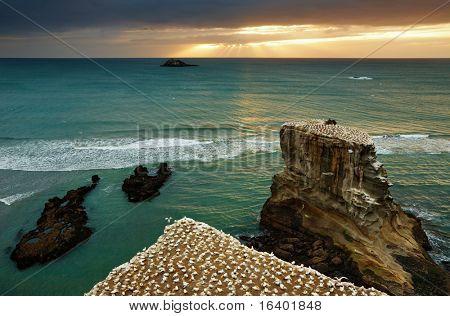 Gannet colony, Muriwai Beach, New Zealand