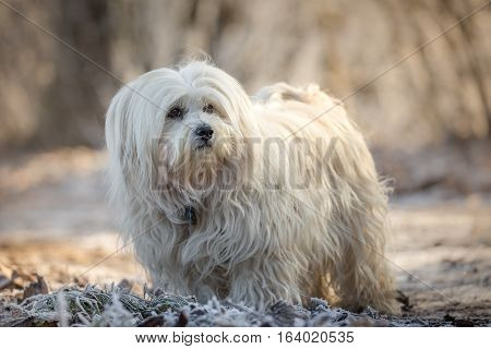 Kleiner weißer Hund schaut lässig nach Links aus dem Bild heraus.
