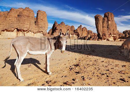 Donkeys in Sahara Desert, Tassili N'Ajjer, Algeria