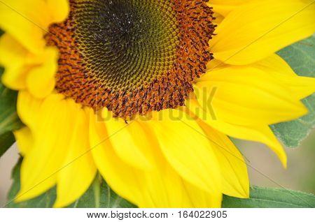 Beautiful Yellow Sunflower Blooming