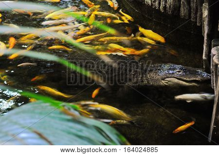 Large Brown Alligator Swimming In A Pond