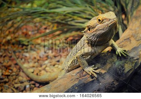 Young Bearded Dragon In A Terrarium