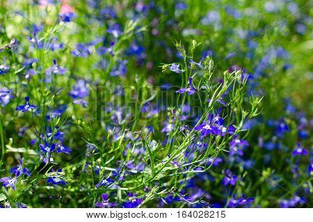 Blue Lobelia Flower In The Garden