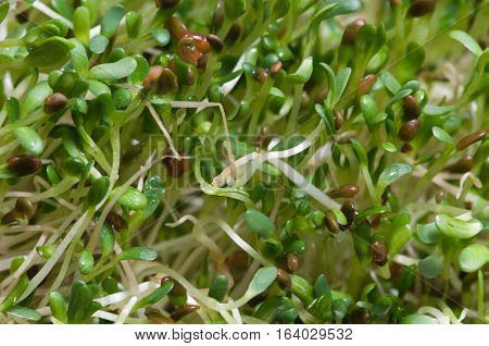 Alfalfa sprouts detailed close-up, color image, nature