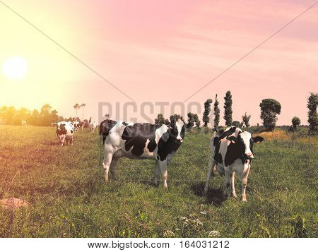 Cows graze on a meadow at sunset France. Landscape suburbs of French cities