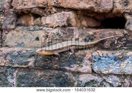 Lizard in Vietnam. Po Nagar Cham Tovers. Asia Travel concept.. Journey through Vietnam Concept.