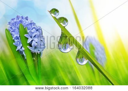 Spring flower hyacinth and fresh green grass with dew drops closeup.