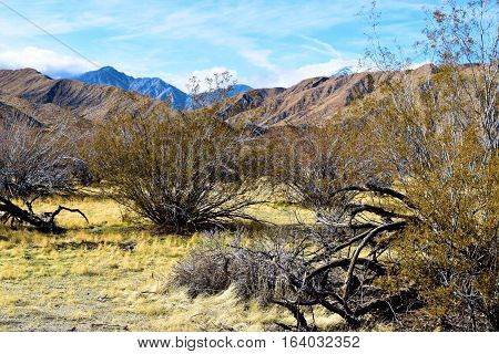 Creosote Plants which is a prominent desert shrub with mountains beyond taken near Palm Springs, CA