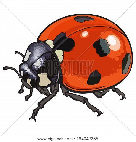 Red ladybug, ladybird with black spots, sketch illustration isolated on white background. color realistic hand drawing of ladybug or ladybird on white background