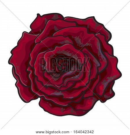 Deep red, ruby rose bud, top view sketch style vector illustration isolated on white background. Realistic hand drawing of open red rose flower, decoration element