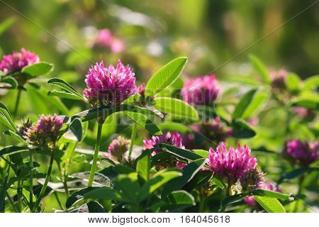 Pink clover flowers on a green field