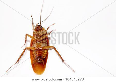 Cockroach ISOLATED IN WHITE BACKGROUND. Cockroach DIE ISOLATED.