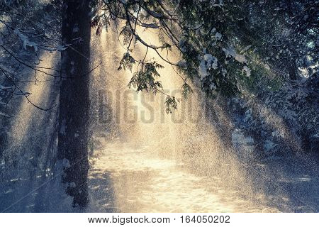 Beautiful winter scene with sun rays in the snow falling from the spruce tree