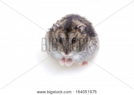 Normal Color Of Winter White Hamster