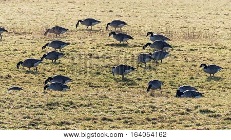 Flock of Canada geese (Branta canadensis) grazing in field. Large black and white birds in the family Anatidae feeding on pasture over winter in Somerset UK