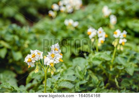Closeup of yellow and white blooming potato plants in a large field on a sunny day in the early summer season. A small spider is on one blossom.