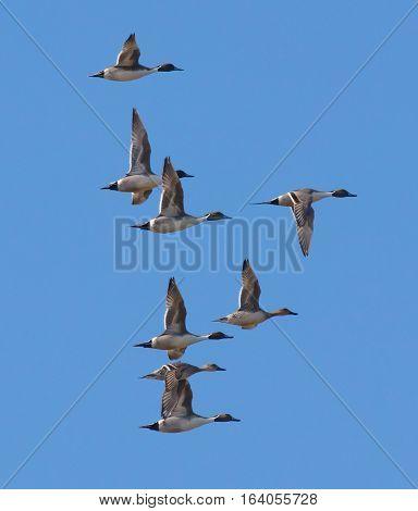 Group of Northern Pintail ducks (Anas acuta) in flight