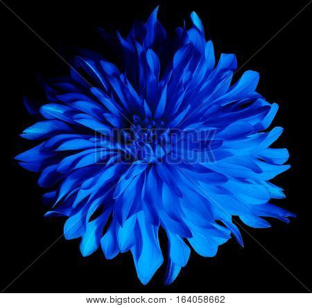 blue flower on a black background isolated with clipping path. Closeup. Big shaggy flower. Dahlia.