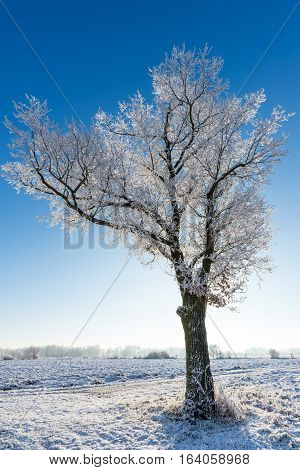 Single Tree With Branches Covered By Frost In Front Of Sun